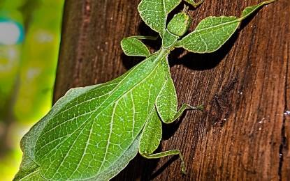 Wandelnde Blätter halten und züchten