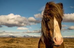 Islandpferd kaufen
