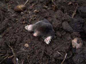 Loecher im Rasen von Maulwurf