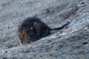 Loecher im Rasen von Ratte