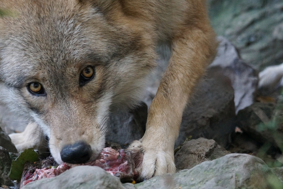 What Fish Husky Dogs Eat