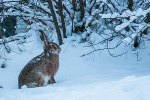 Wie ueberwintern Hasen und Kaninchen