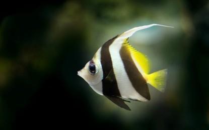 Mini-Skalare – das Märchen um den kleinen Fisch