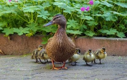 Entenbabys aufziehen