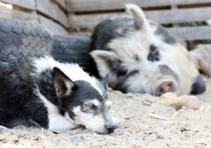 Schweinefleisch für Hunde