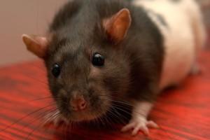 Ratten zaehmen