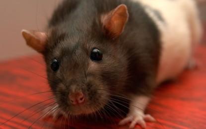 Ratten zähmen – so werden die kleinen Nager zahm