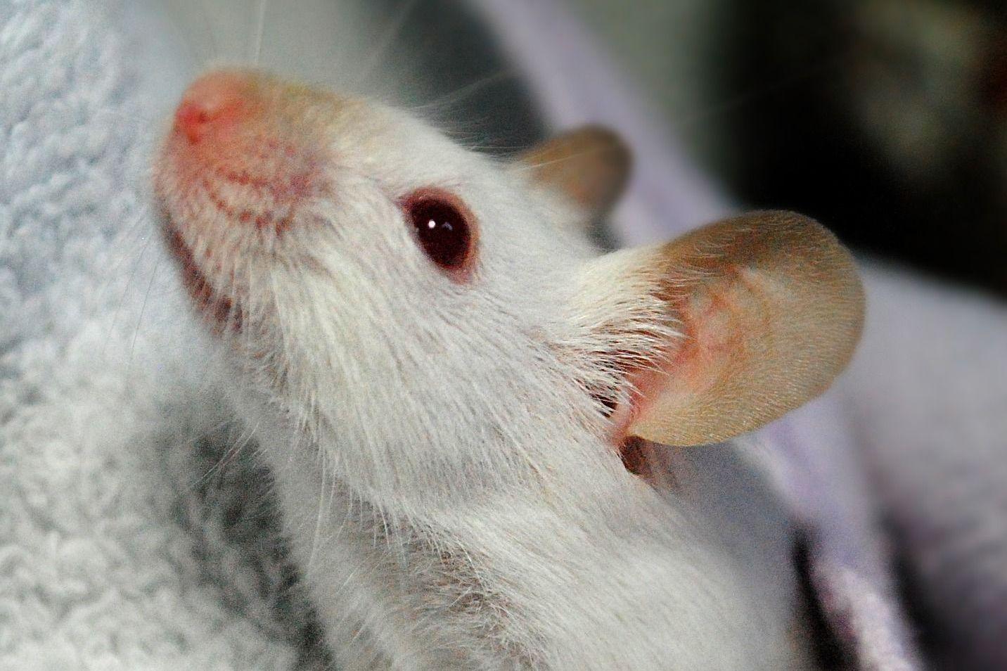 Mäuse Haustier