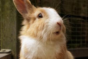 Kokzidien bei Kaninchen