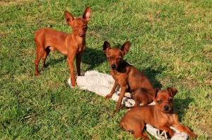 Mini-Hunderassen