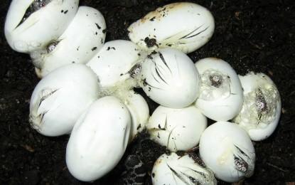 Reptilieneier inkubieren – mit und ohne Substrat