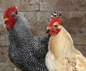 Vogelgrippe in Deutschland