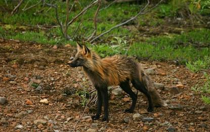 Schwarzer Fuchs – gibt es ihn wirklich?