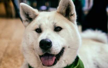 Akita kaufen – wichtige Hinweise