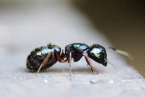 Ameisen für Zuhause