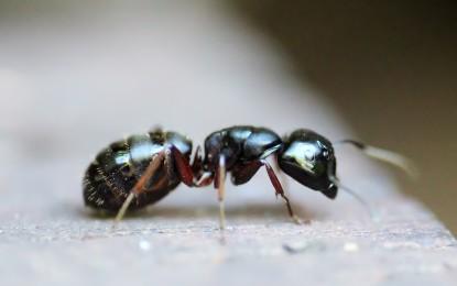 Ameisen für zu Hause