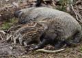 Wildschweinangriff – richtiges Verhalten