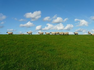was fressen Schafe
