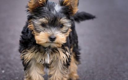 Wie alt werden Yorkshire Terrier?