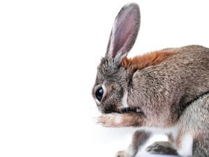 wunde Pfoten beim Kaninchen
