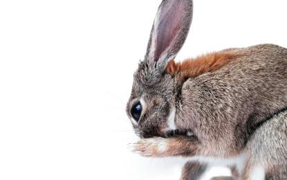 Wunde Pfoten beim Kaninchen – Pododermatitis