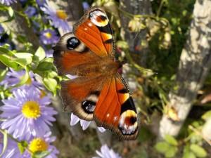 Pflanzen fuer Schmetterlinge
