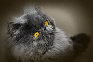 cat-2154726_960_720