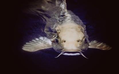 Dornwelse – Fische mit Verletzungsgefahr