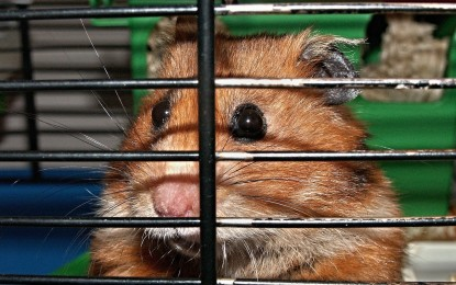 Hamster knabbert an den Gitterstäben