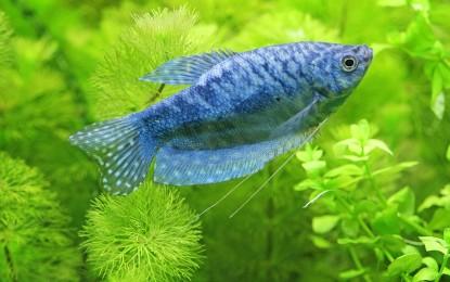 Labyrinthfische aus Südostasien – Helostoma, Trichogaster und Trichopsis