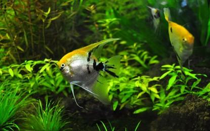 Lebendfutter für Aquarienfische