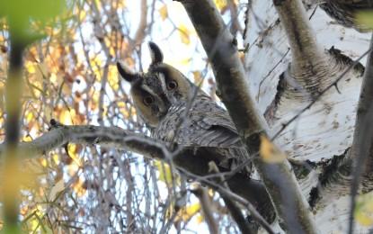Waldohreule – Wissenswertes