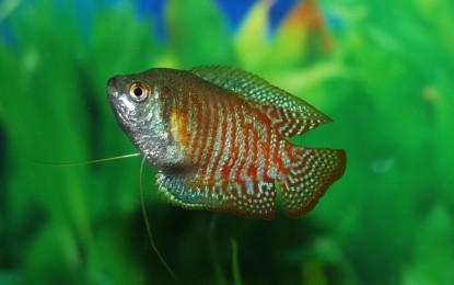 Asiatische Labyrinthfische – Colisa und Betta
