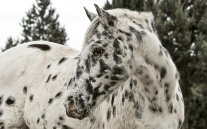 Appaloosa – 8 interessante Pferdefakten