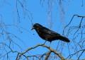 Rabenvögel – welche gibt es?