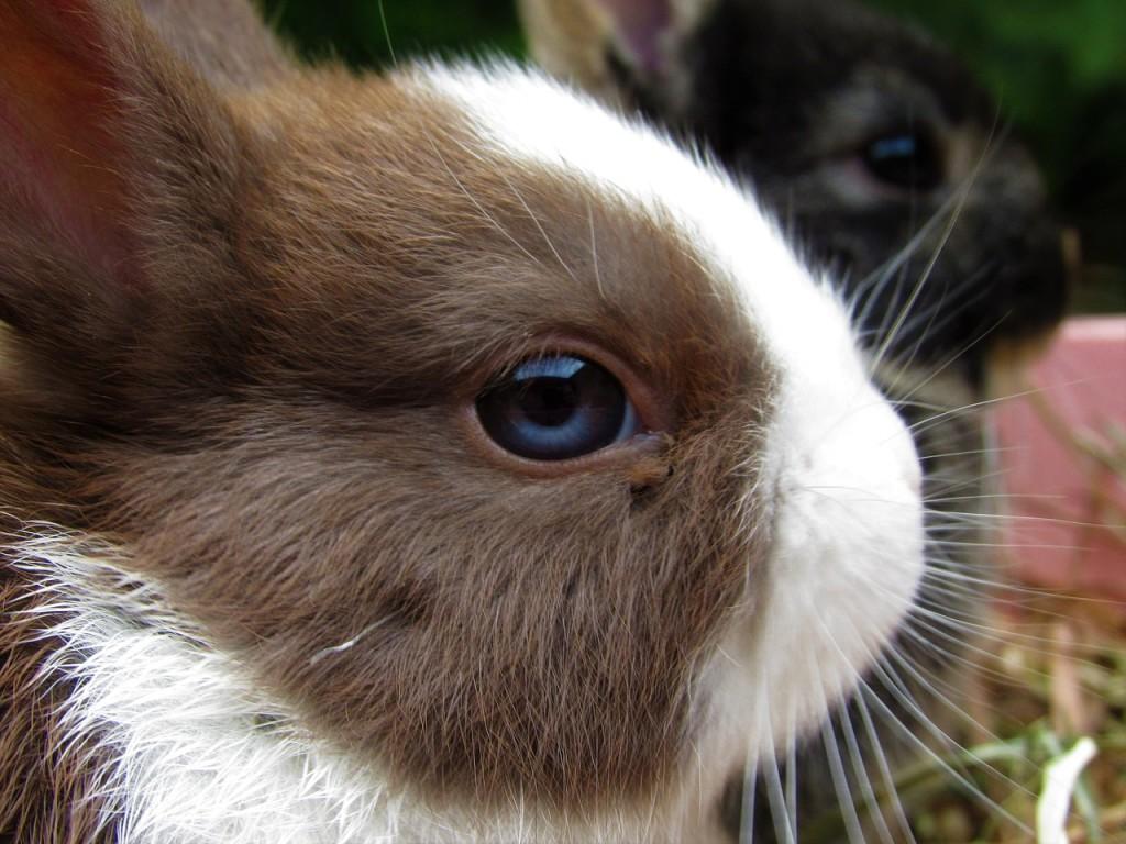 Zahnabnutzung bei Kaninchen