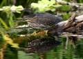 Grünreiher – geschickte Fischer