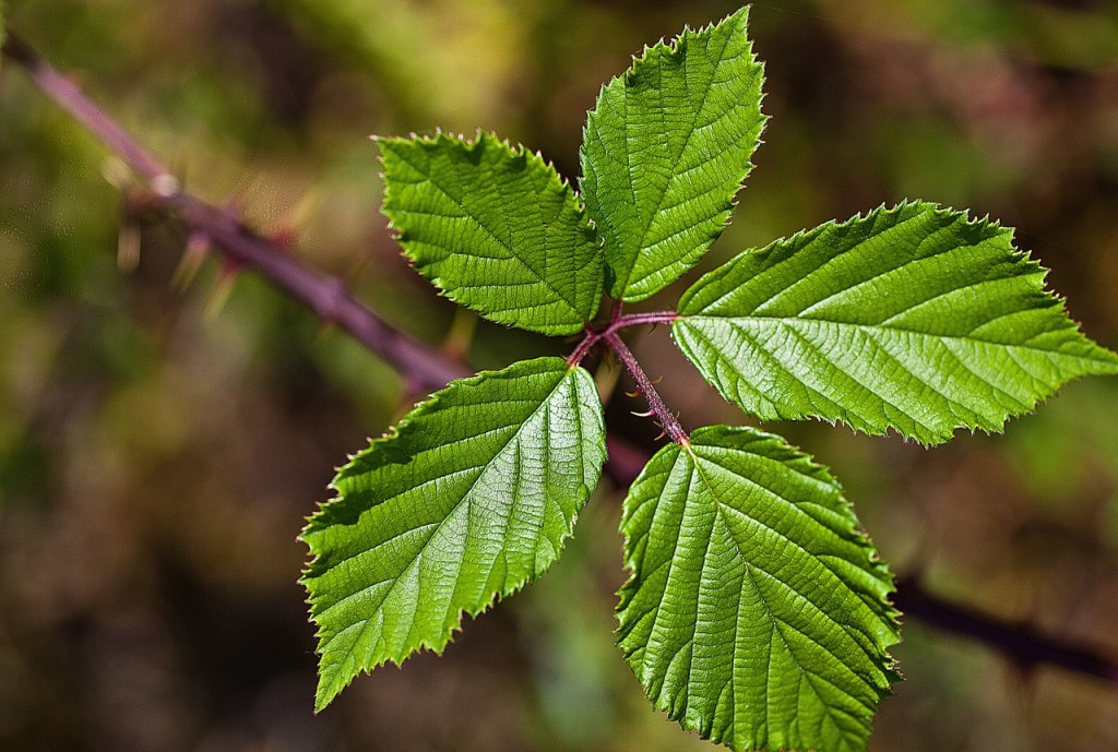 Futterpflanzen fuer Phasmiden