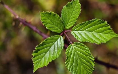 Futterpflanzen für Phasmiden