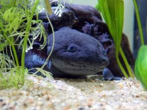 axolotl-2193310_960_720