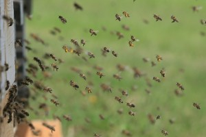 bees-1975820_960_720