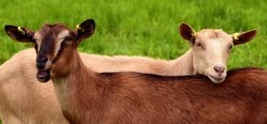 goats-2719445_960_720