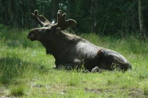 moose-7-2809070_960_720