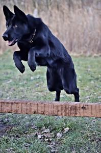 black-german-shepherd-3120383_960_720