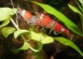 Garnelen Hobby, alles um die Haltung von Garnelen im Aquarium