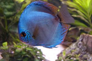 blauer Diskus