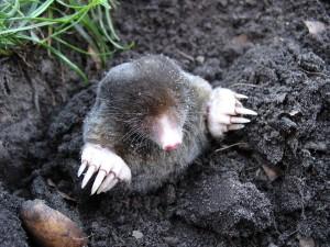 mole-13299_960_720