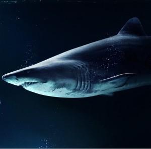 Länge Weißer Hai