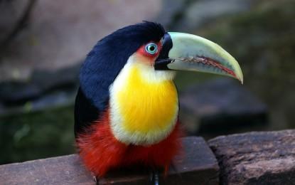 Tukane – die Clowns des Dschungels
