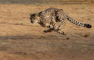 02 Gepard